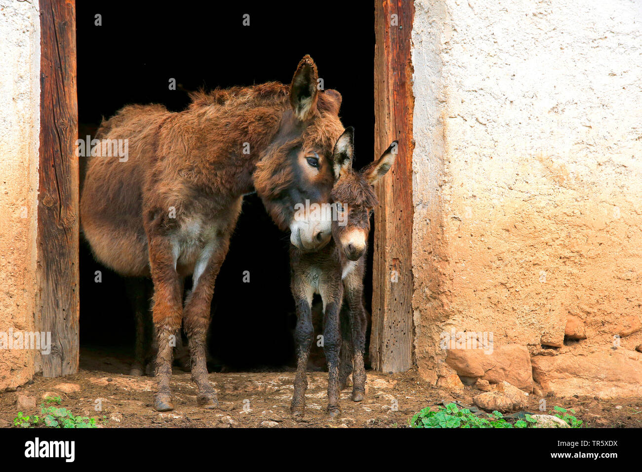 Esel, Hausesel, Haus-Esel (Equus asinus asinus), Esel mit Jungtier am Stall, Deutschland   Domestic donkey (Equus asinus asinus), adult with pup in fr - Stock Image