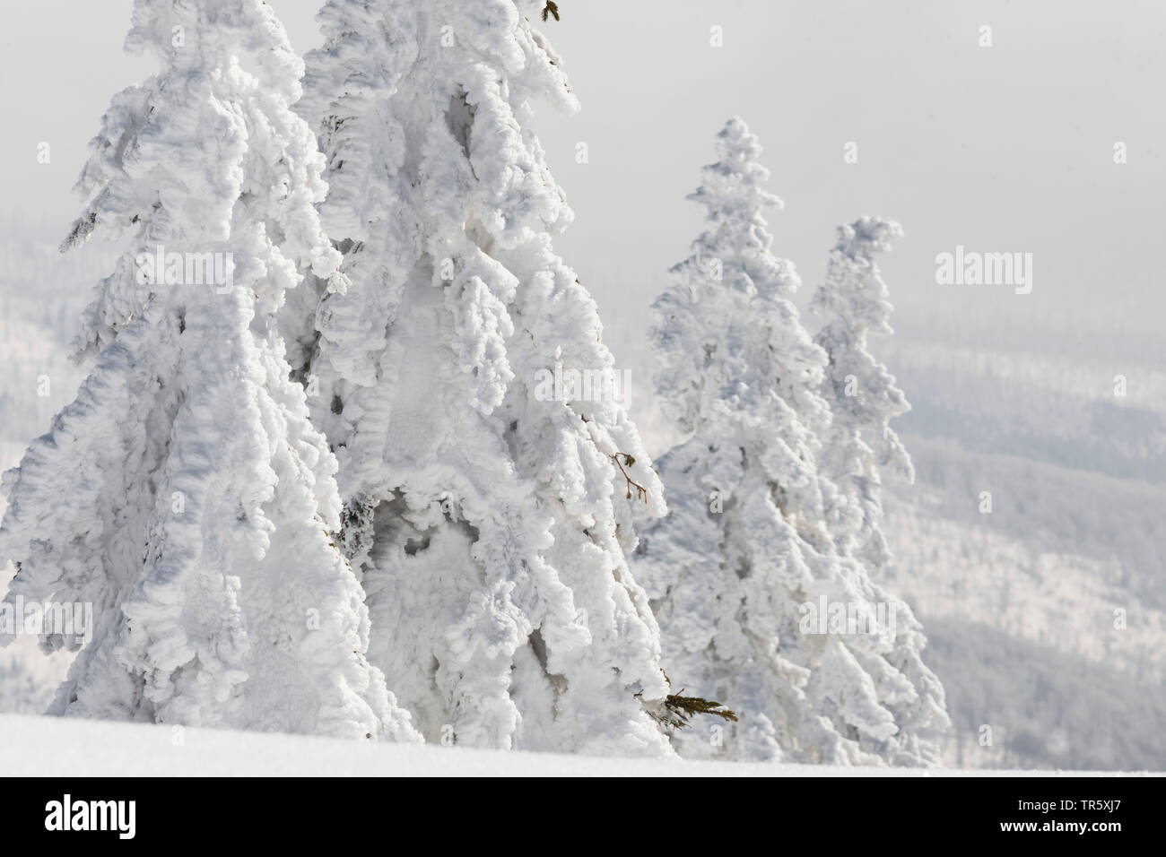 Norway spruce (Picea abies), snowbound spruces at the Grosser Rachel, Germany, Bavaria, Bavarian Forest National Park - Stock Image