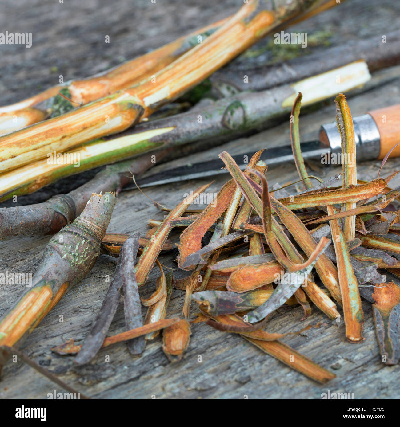 common horse chestnut (Aesculus hippocastanum), bark of horse chestnut branches are peeled, Germany - Stock Image