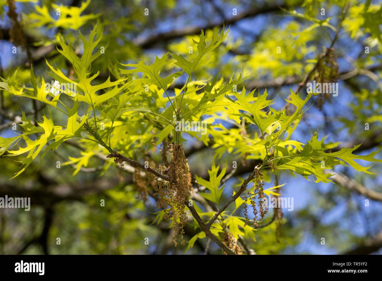 Sumpf-Eiche, Sumpfeiche, Boulevard-Eiche, Boulevardeiche, Nagel-Eiche, Nageleiche (Quercus palustris), bluehender Zweig mit frisch ausgetriebenen Blae Stock Photo