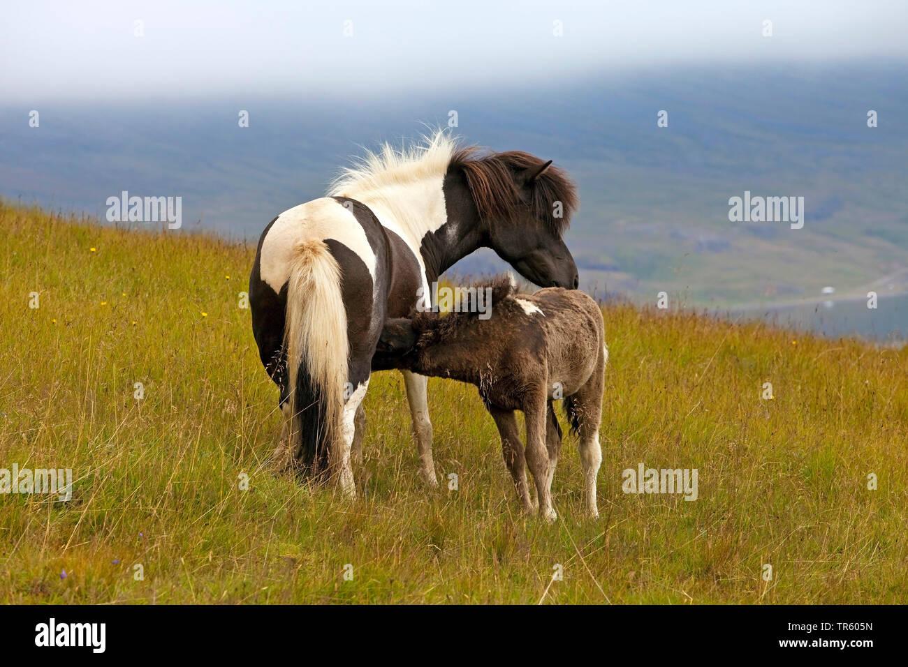 Islandpferd, Islandpony, Islaender (Equus przewalskii f. caballus), grasende Islandpferde, Stute saeugt Fohlen, Island, Ostisland, Seydisfjoerdur   Is - Stock Image