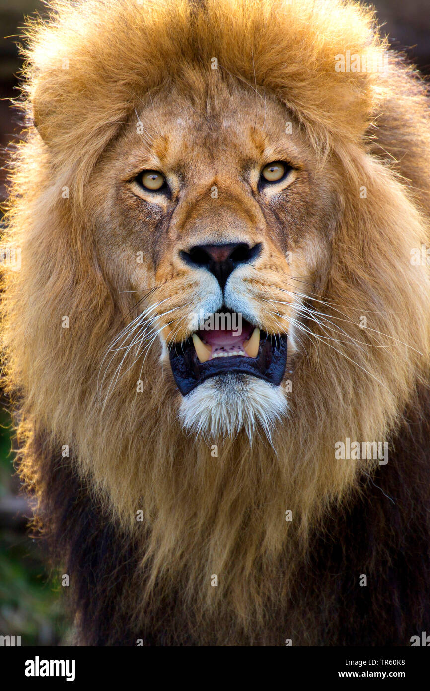 lion (Panthera leo), male lion, portrait, Africa Stock Photo