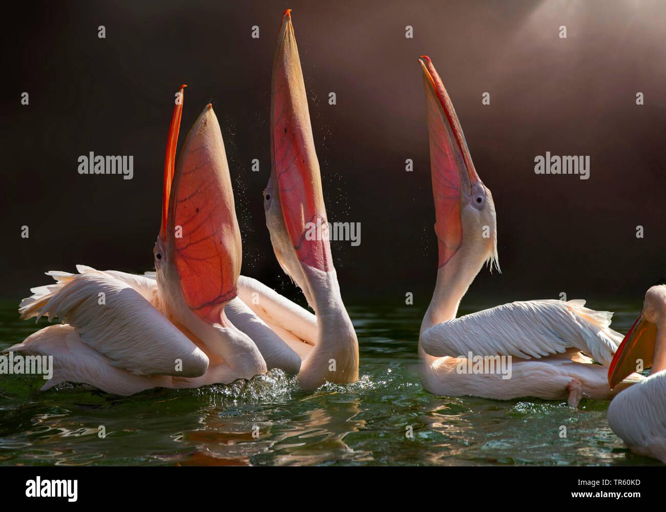 Rosapelikan, Rosa Pelikan (Pelecanus onocrotalus), drei Pelikane strecken die Schnaebel in die Luft | eastern white pelican (Pelecanus onocrotalus), t - Stock Image