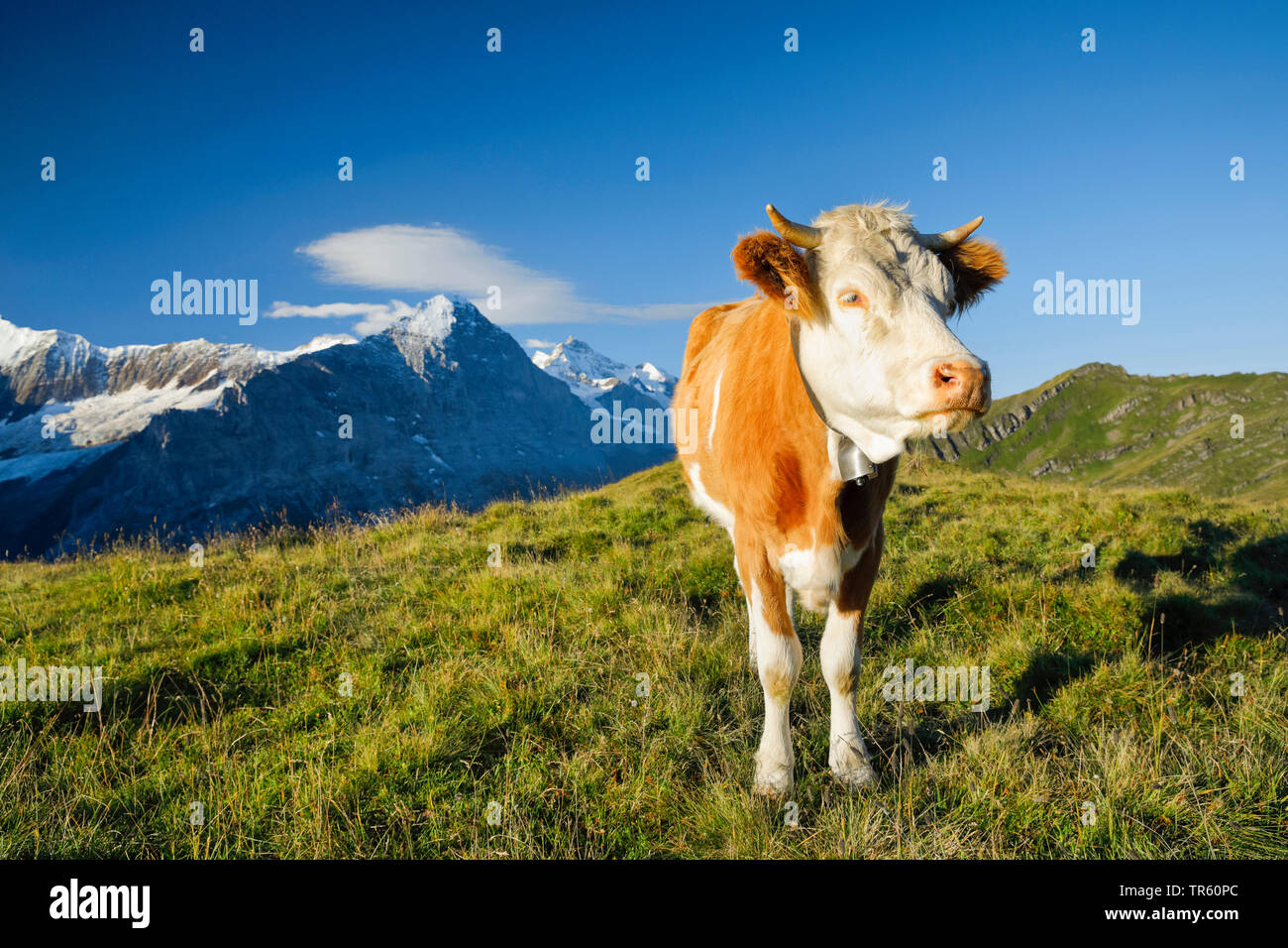 domestic cattle (Bos primigenius f. taurus), Fleckvieh standing on an alpine pasture, Eiger, Moench and Jungfrau in the background, Switzerland, Bernese Oberland Stock Photo
