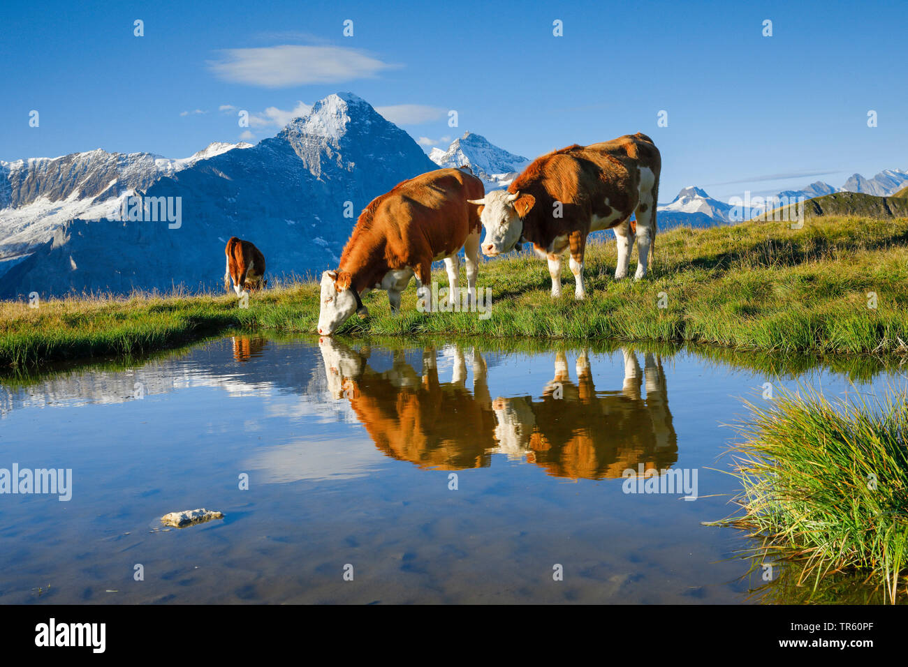 domestic cattle (Bos primigenius f. taurus), Fleckvieh standing on an alpine pasture and drinking out of an alpine lake, Eiger, Moench and Jungfrau in the background, Switzerland, Bernese Oberland Stock Photo