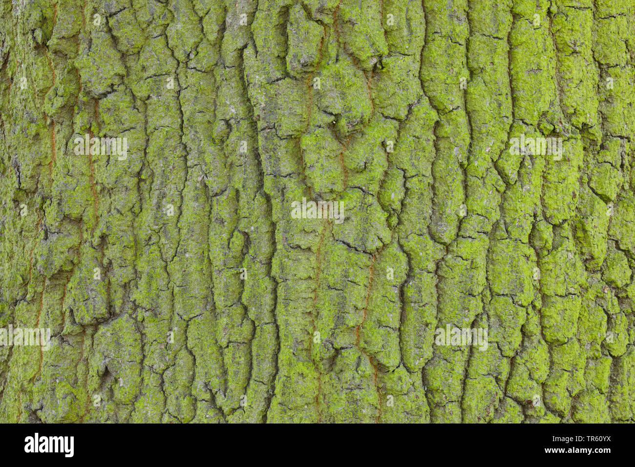 Stiel-Eiche, Stieleiche (Quercus robur. Quercus pedunculata), Eichenrinde von Algen ueberzogen, Grossbritannien, England   common oak, pedunculate oak Stock Photo