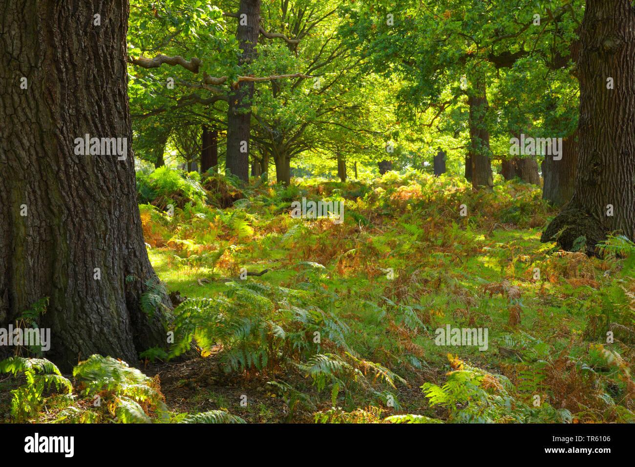 Stiel-Eiche, Stieleiche (Quercus robur. Quercus pedunculata), Eichenwald im Richmond Park mit Adlerfarn, Pteridium aquilinum, Grossbritannien, England - Stock Image