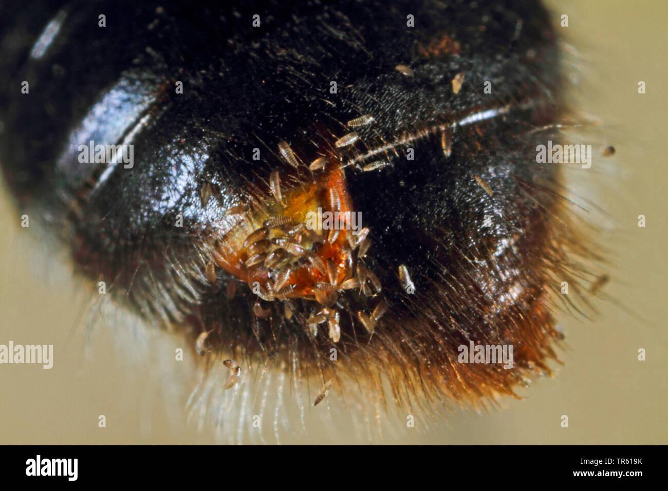 Faecherfluegler, Stylops (Stylops spec.), parasitiert auf einer Sandbiene, Larven am Hinterleib einer Biene, Deutschland | twisted-wing parasite (Styl - Stock Image