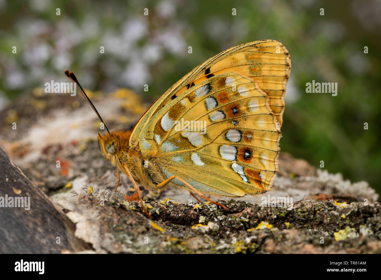 high brown fritillary (Argynnis adippe, Fabriciana adippe), imago with closed wings at bark, side view, Germany - Stock Image