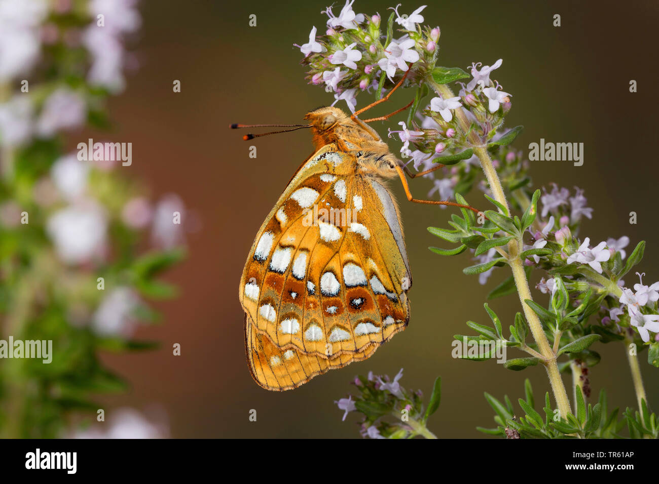 high brown fritillary (Argynnis adippe, Fabriciana adippe), sucking nectar at blossoms, side view, Germany - Stock Image