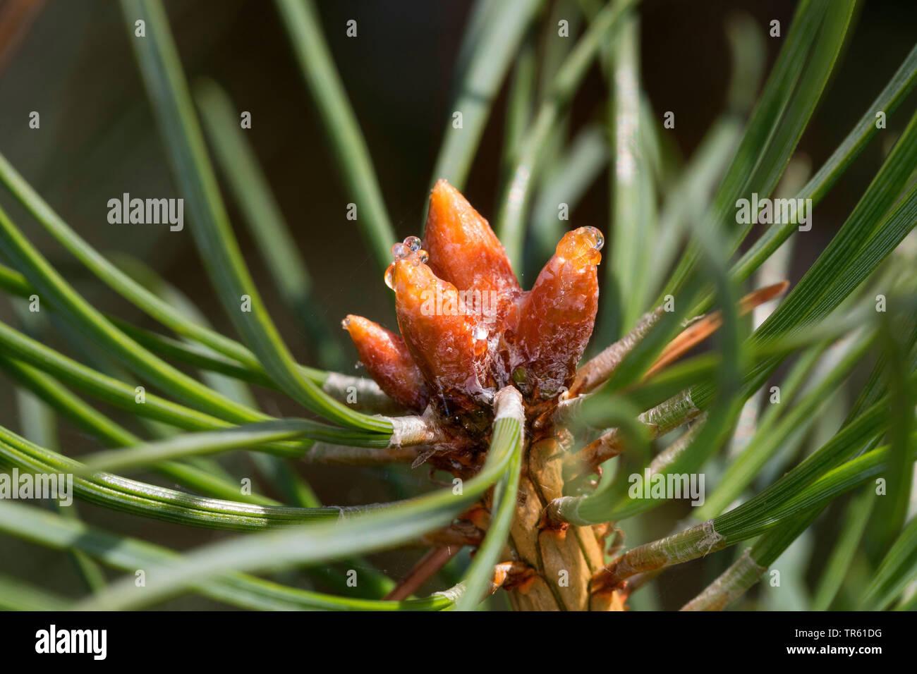 Scotch pine, Scots pine (Pinus sylvestris), liquid pitch on buds, Germany Stock Photo