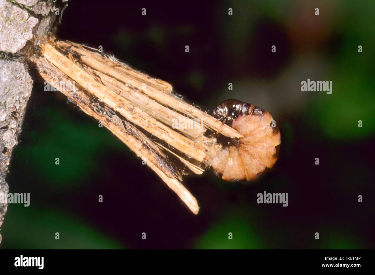 Gemeiner Sacktraeger, Sacktraegermotte, Sacktraeger-Motte, Kleiner Rauch-Sacktraeger, Kleiner Rauchsacktraeger (Psyche casta), Raupe in ihrem Gespinst - Stock Image