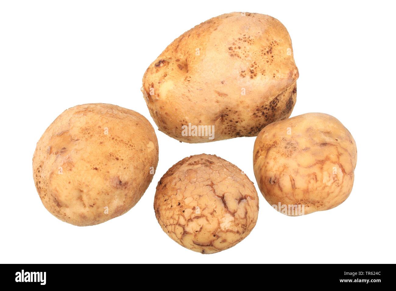 Ackersegen-Kartoffel, Ackersegenkartoffel (Solanum tuberosum Ackersegen), Kartoffeln der Sorte Ackersegen, Freisteller   potato (Solanum tuberosum Ack - Stock Image