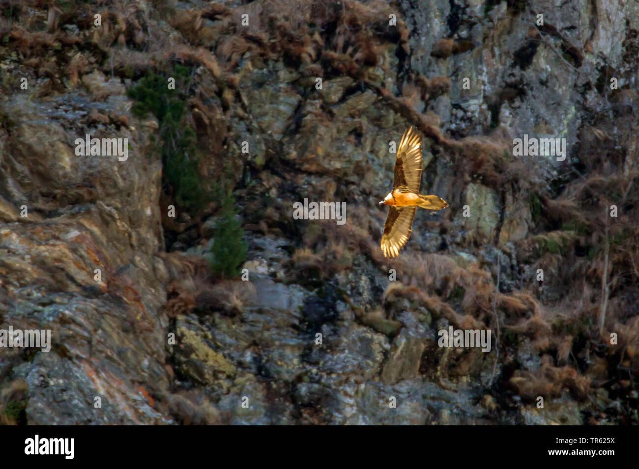 Bartgeier, Bart-Geier, Laemmergeier, Laemmer-Geier (Gypaetus barbatus), Maennchen fliegt vor einer Felswand, Oesterreich, Tirol | Lammergeier, Bearded - Stock Image
