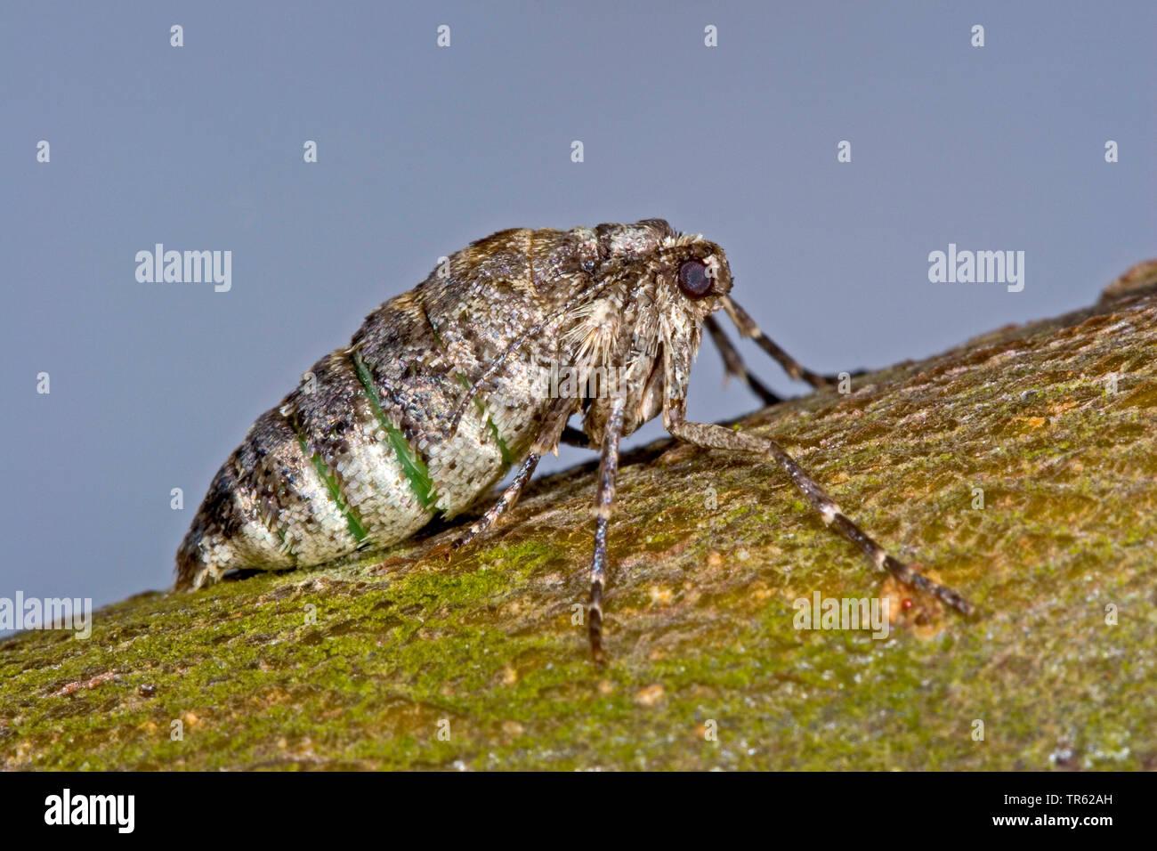 Pale brindled beauty (Apocheima pilosaria, Phigalia pilosaria), wingless female, side view, Germany - Stock Image