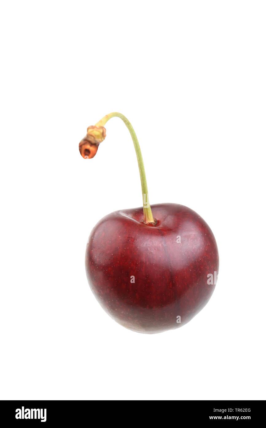 Cherry tree, Sweet cherry (Prunus avium 'Grosse Schwarze Knorpelkirsche', Prunus avium Grosse Schwarze Knorpelkirsche), cherry of cultivar Grosse Schwarze Knorpelkirsche, cutout - Stock Image