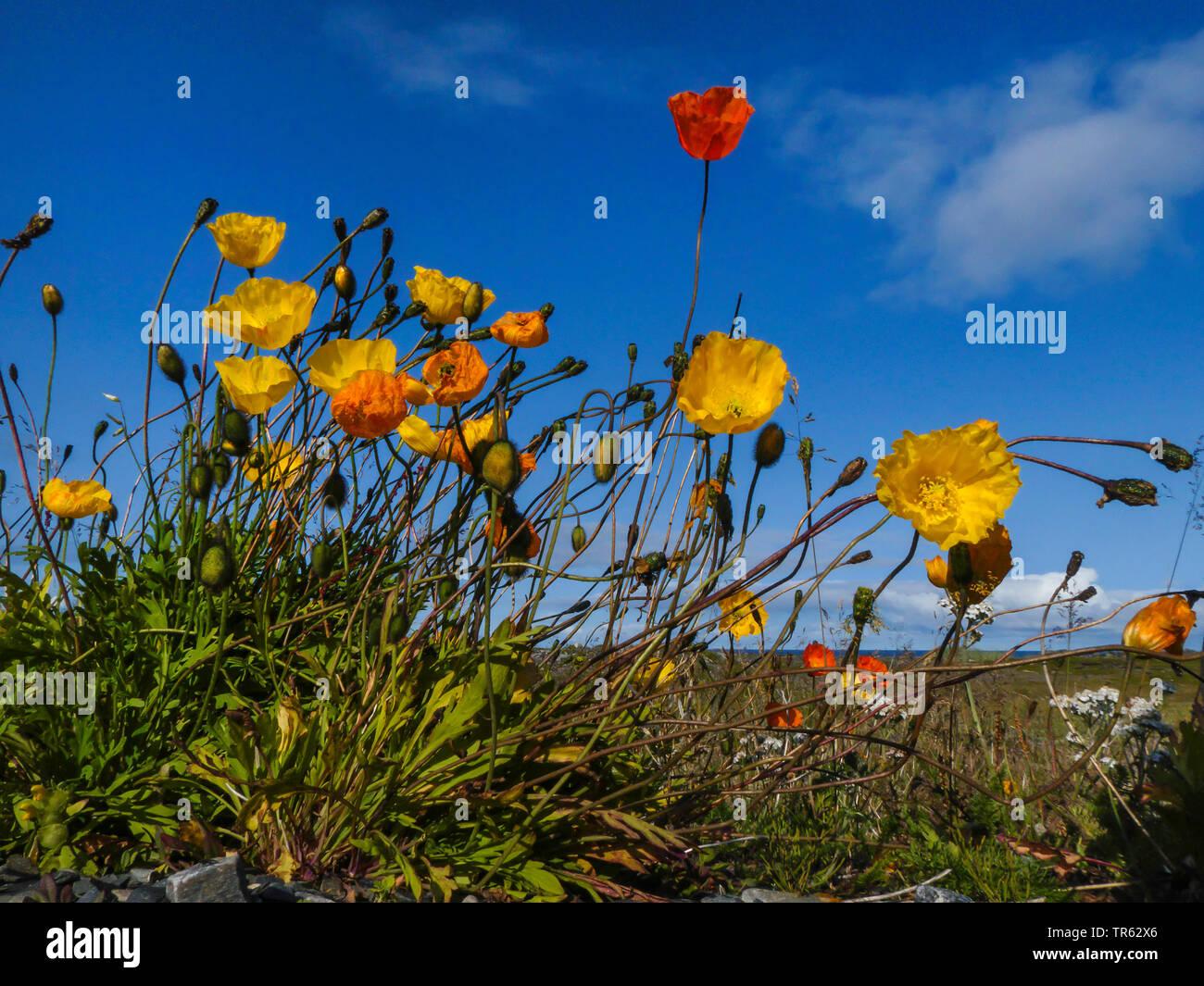 Arktischer Mohn, Polar-Mohn, Polarmohn (Papaver radicatum), bluehend, Norwegen, Finnmark, Kjoelneset   rooted poppy (Papaver radicatum), blooming, Nor - Stock Image