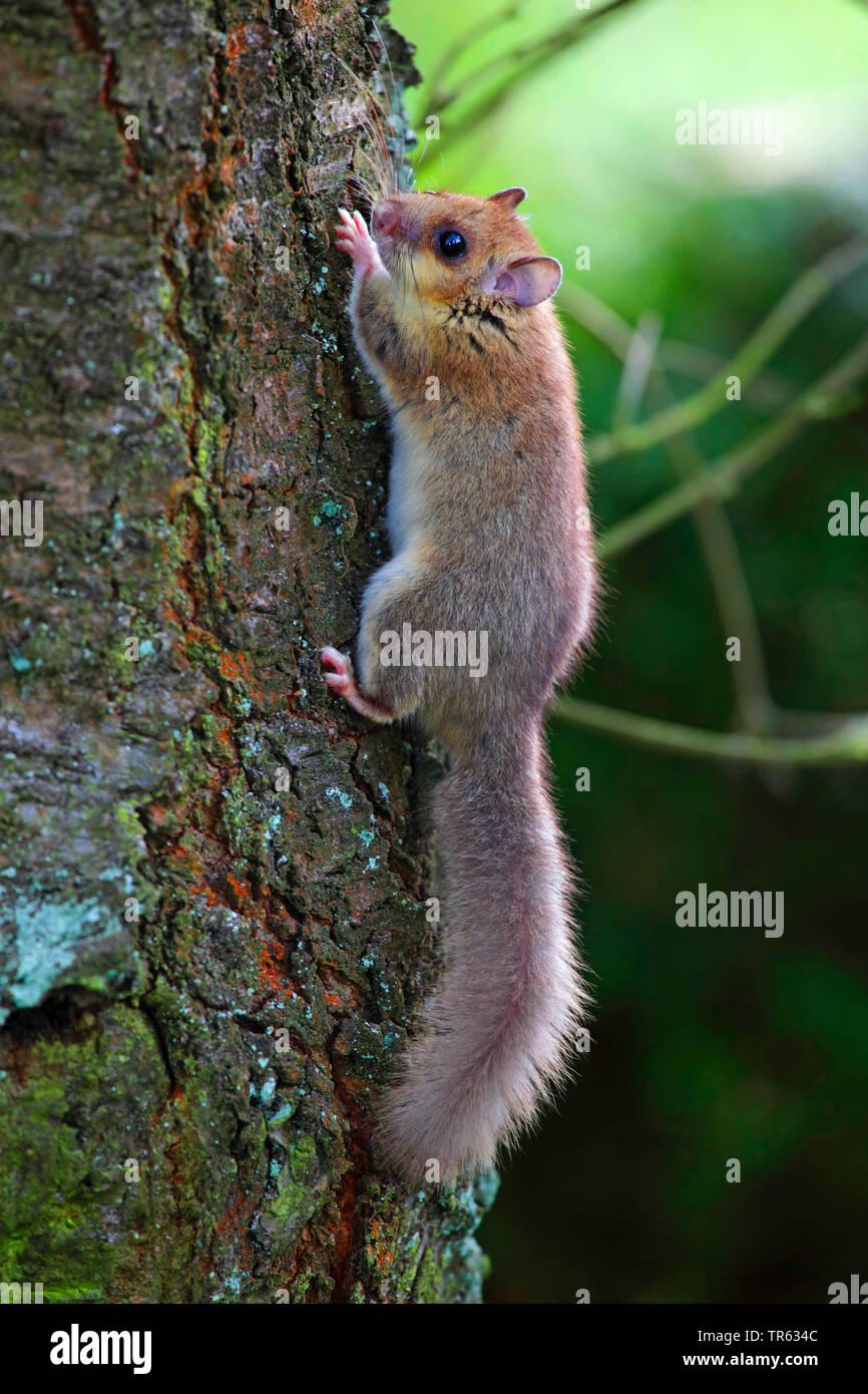 Siebenschlaefer (Glis glis), klettert einen Baumstamm hoch, Seitenansicht, Deutschland, Hessen | edible dormouse, edible commoner dormouse, fat dormou - Stock Image