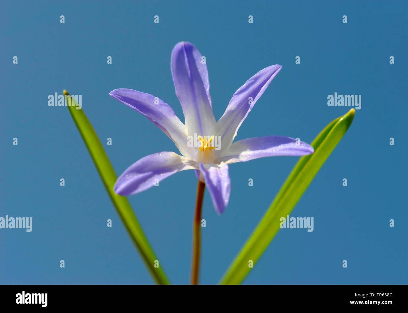 Schneeglanz, Schneestolz, Sternhyacinthe, Gewoehnliche Sternhyazinthe (Chionodoxa luciliae, Scilla luciliae, Chionodoxa luciliae), Einzelbluete mit Bl Stock Photo