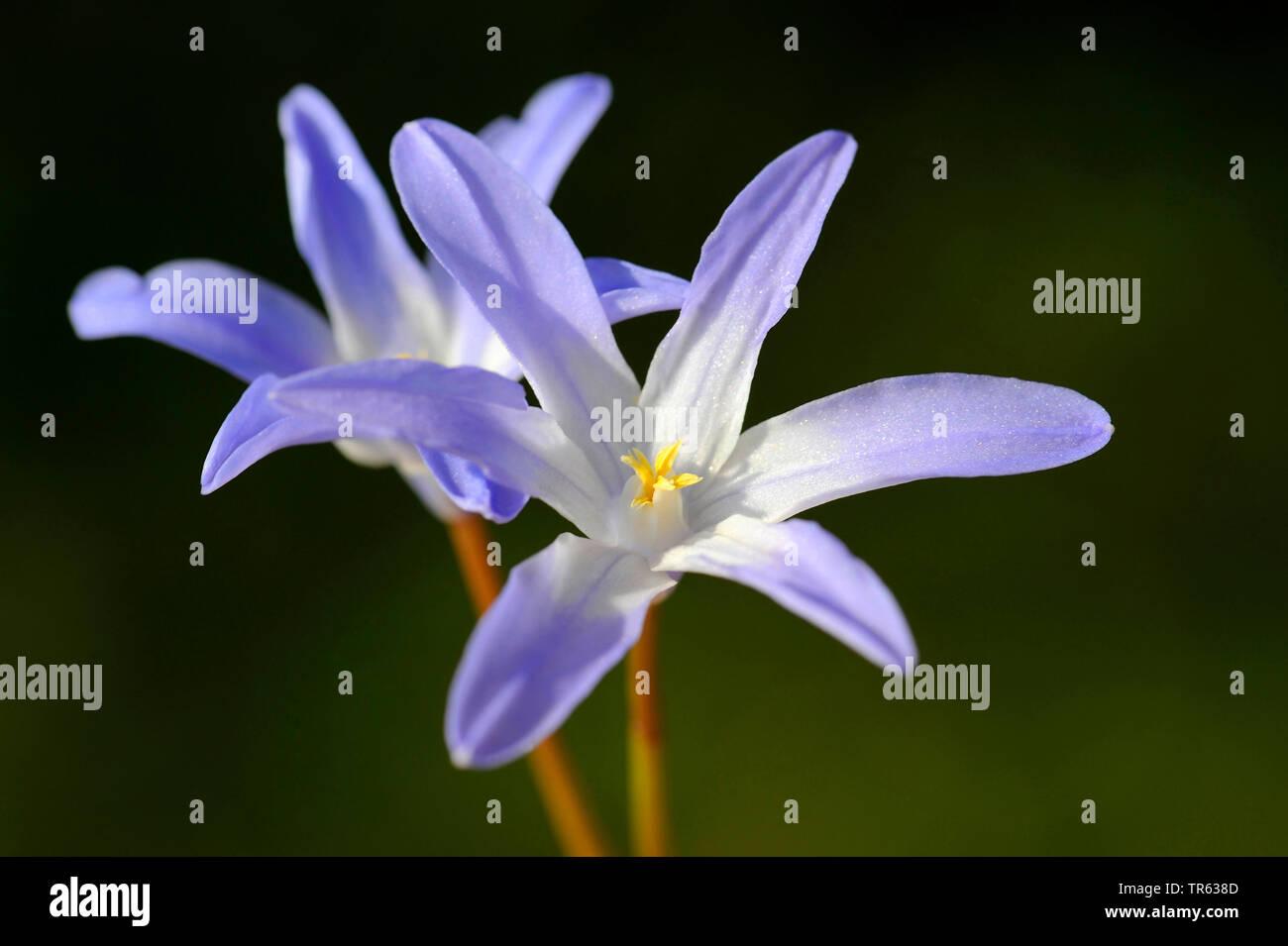 Schneeglanz, Schneestolz, Sternhyacinthe, Gewoehnliche Sternhyazinthe (Chionodoxa luciliae, Scilla luciliae, Chionodoxa luciliae), zwei Blueten   Glor Stock Photo