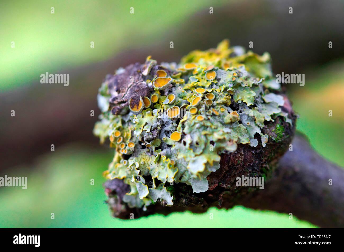 Gewoehnliche Gelbflechte, Gelbflechte, Gelbe Wandflechte, Goldgelbe Wandflechte, Gelbe Wandschuesselflechte (Xanthoria parietina, Parmelia parietina), - Stock Image