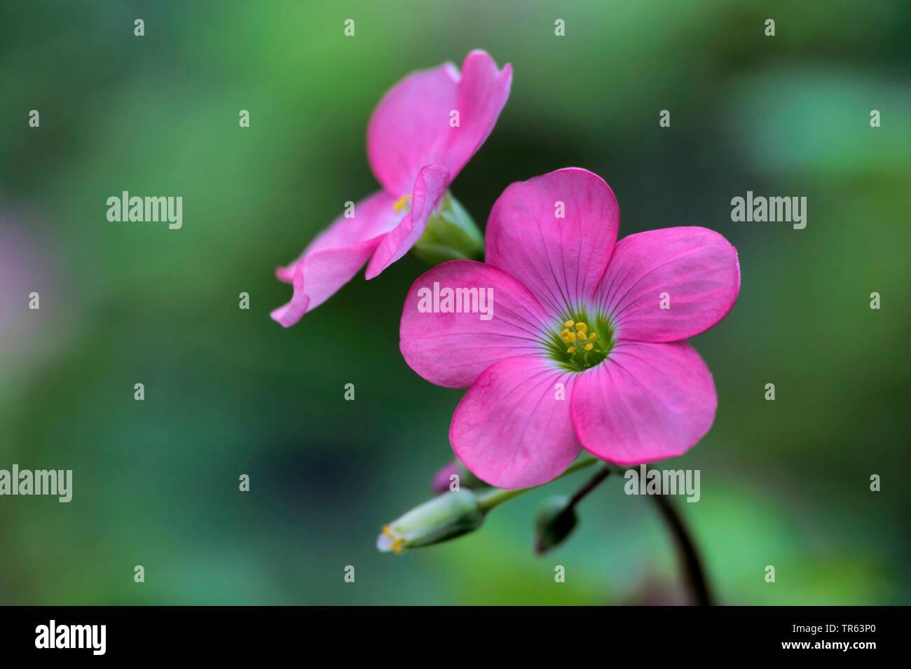 four-leafed clover (Oxalis tetraphylla 'Iron Cross', Oxalis tetraphylla Iron Cross, Oxalis deppei), flowers of cultivar Iron Cross Stock Photo