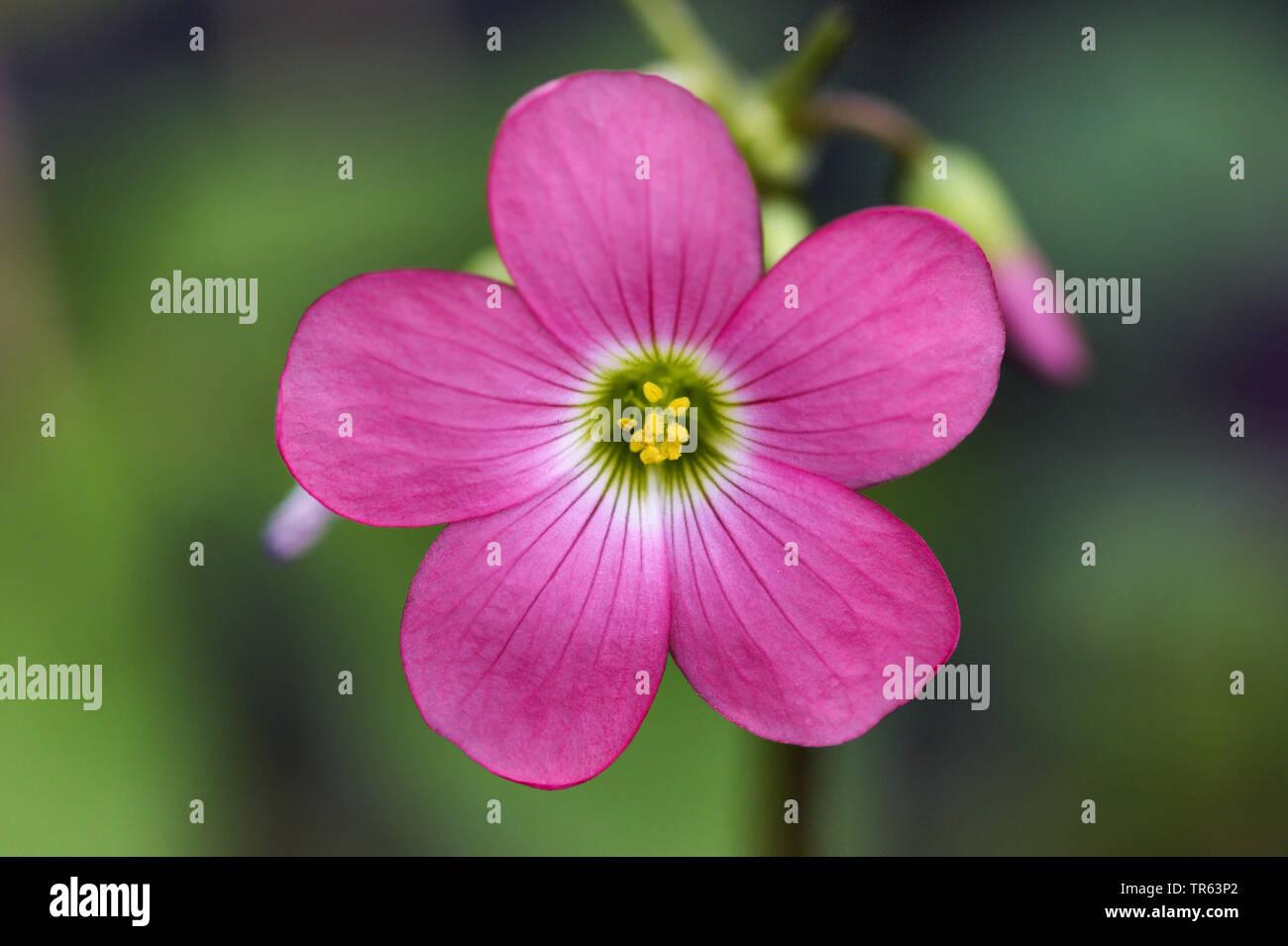 four-leafed clover (Oxalis tetraphylla 'Iron Cross', Oxalis tetraphylla Iron Cross, Oxalis deppei), flower of cultivar Iron Cross Stock Photo