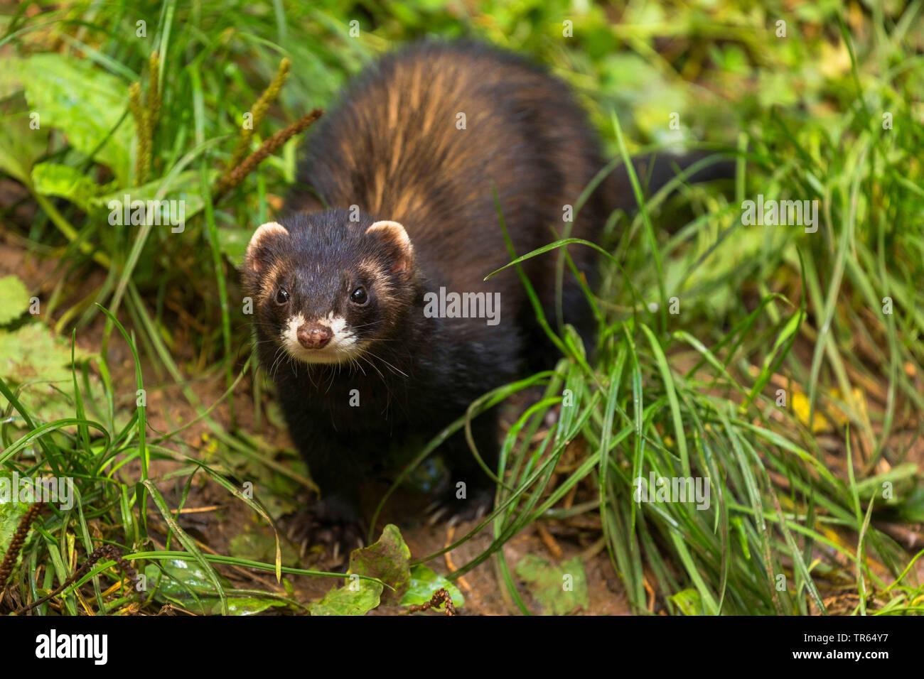 domestic polecat, domestic ferret (Mustela putorius f. furo, Mustela putorius furo), dark shape, front view, Germany, Bavaria - Stock Image