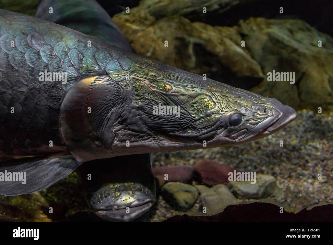 d7888052746 Pirarucu Fish Stock Photos & Pirarucu Fish Stock Images - Alamy