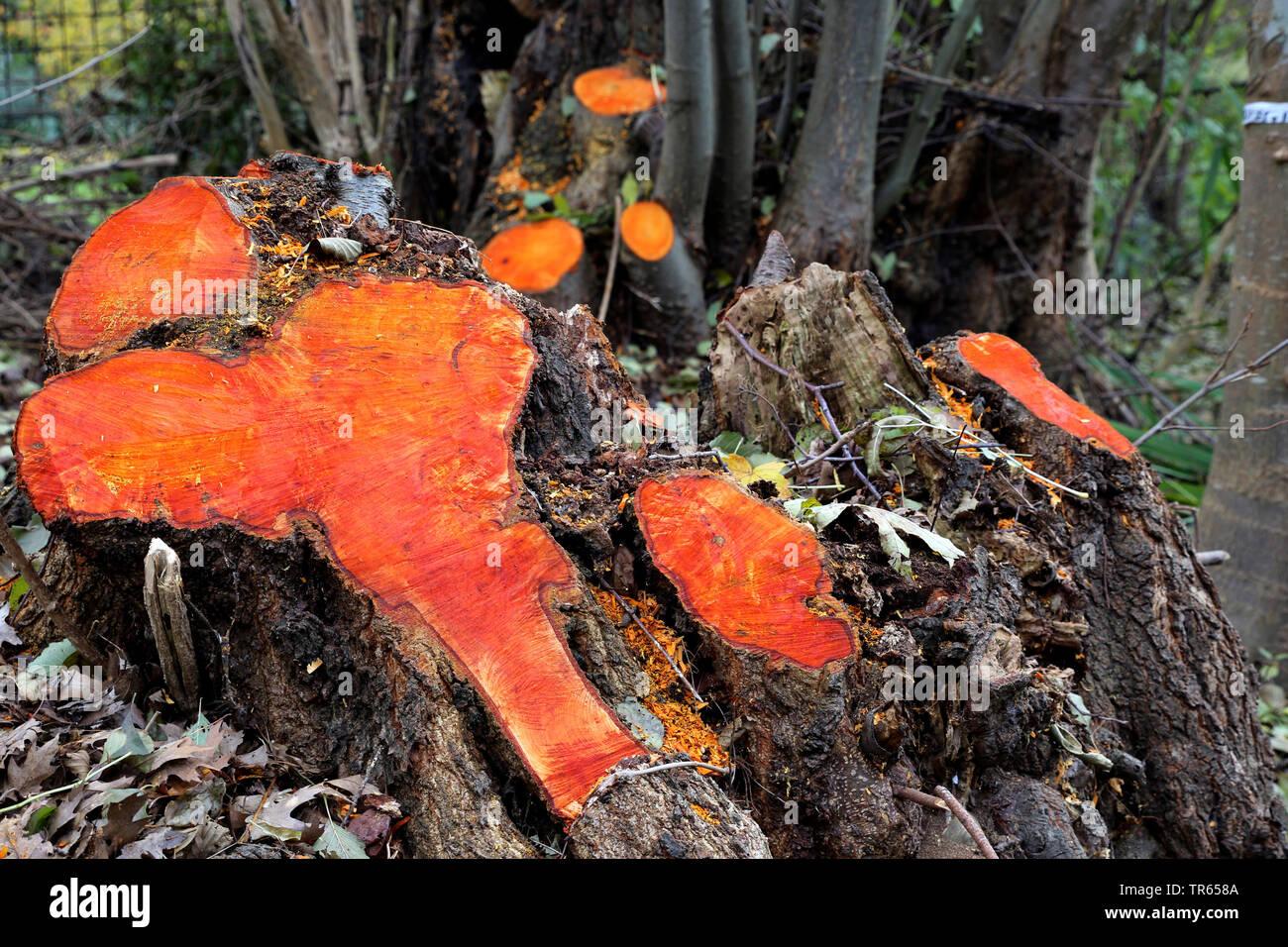Schwarzerle, Schwarz-Erle, Schwarze Erle (Alnus glutinosa), Baumstuempfe von Erlen, nach dem Faellen orange verfaerbt, Deutschland, Nordrhein-Westfale - Stock Image