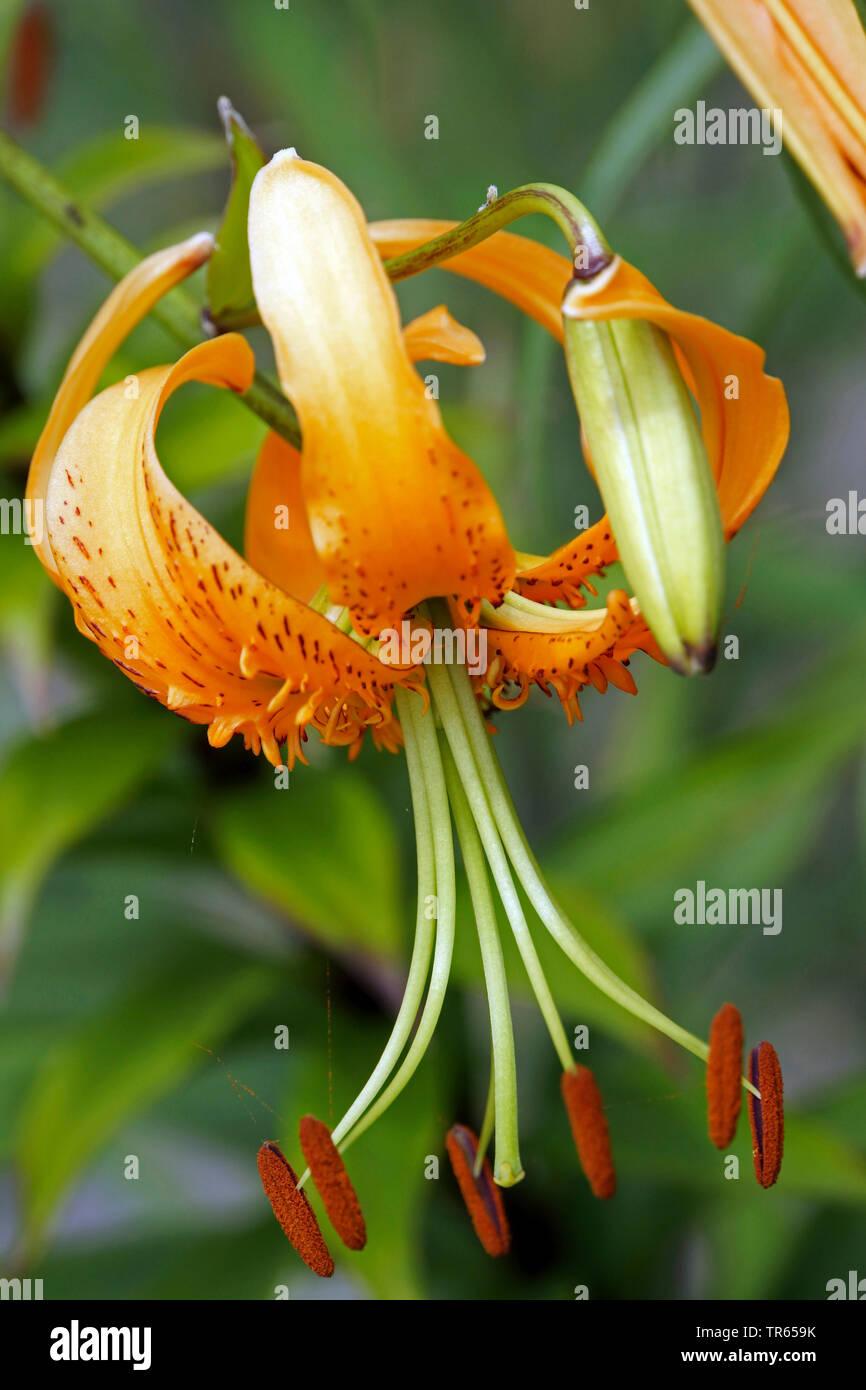 Lilie (Lilium spec.), Lilienbluete   lily (Lilium spec.), lily flower, Germany   BLWS473994.jpg [ (c) blickwinkel/E. Teister Tel. +49 (0)2302-2793220, - Stock Image