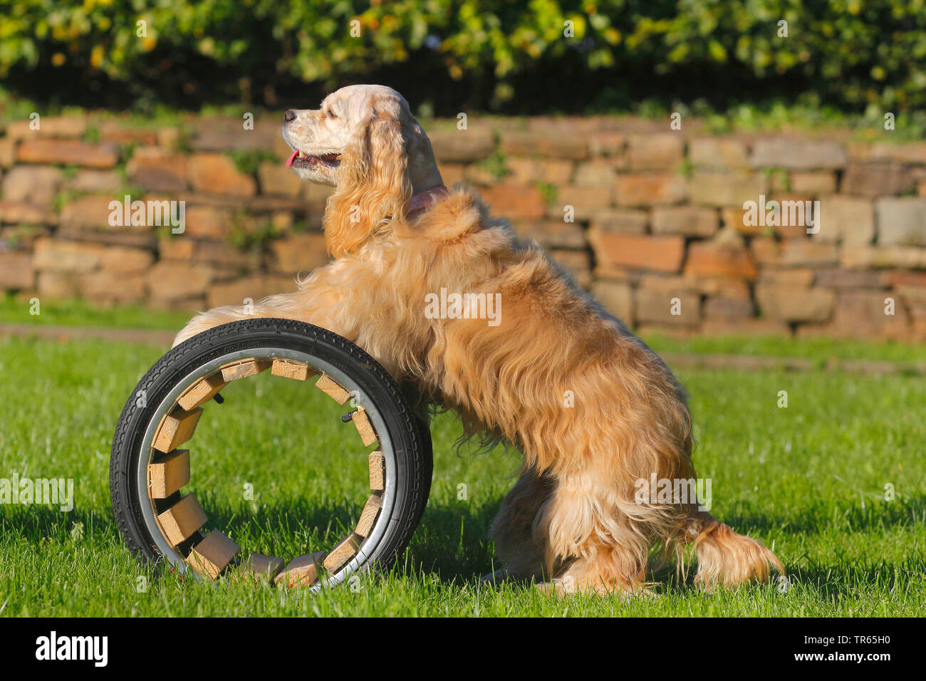 American Cocker Spaniel (Canis lupus f. familiaris), standing with forepawas on a tunnel, dog training, Germany, North Rhine-Westphalia Stock Photo