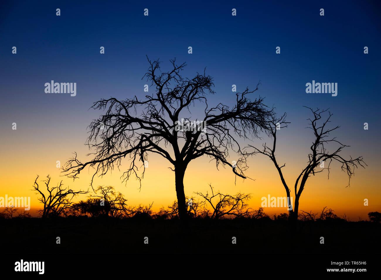 Baum bei Sonnenuntergang nahe Mababe Village, Botswana , Mbabe Village   tree at sunset, Botswana , Mbabe Village   BLWS474229.jpg [ (c) blickwinkel/M - Stock Image