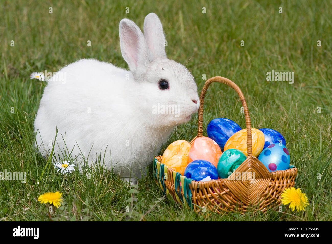 domestic rabbit (Oryctolagus cuniculus f. domestica), easter bunny with nest and eggs, Germany Stock Photo