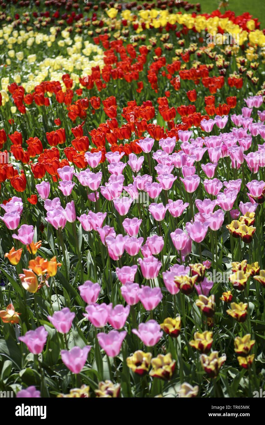 Gartentulpe, Garten-Tulpe, Tulpe (Tulipa spec.), Tulpenbeet mit bunt bluehenden Tulpen, Deutschland   common garden tulip (Tulipa spec.), tulip bed, G - Stock Image