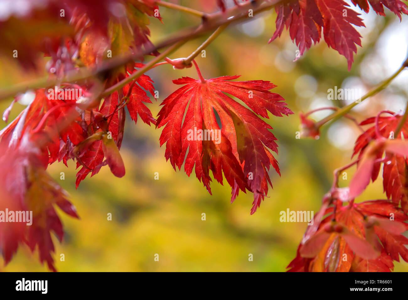 Japanese Maple Full Moon Maple Acer Japonicum Aconitifolium