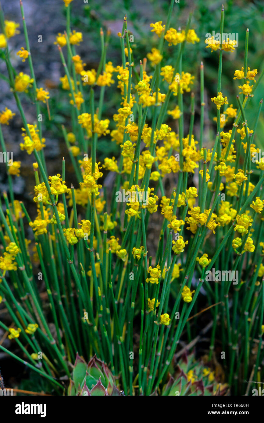 Gewoehnliche Meertraeubel (Ephedra distachya), bluehend | sea grape (Ephedra distachya), blooming | BLWS474566.jpg [ (c) blickwinkel/H. Bellmann/F. He - Stock Image