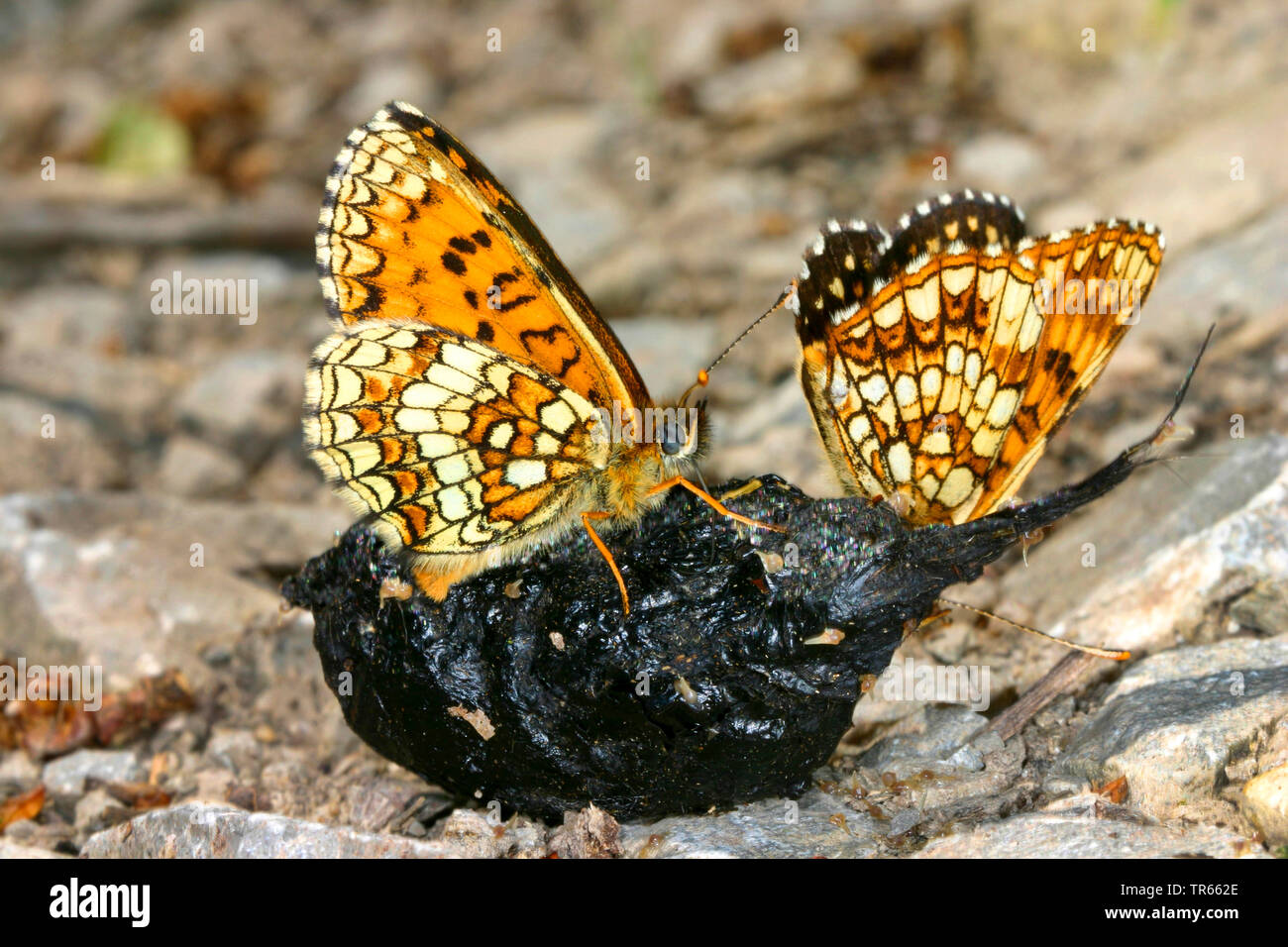 heath fritillary (Melitaea athalia, Mellicta athalia), two heath fritillary sucking mineral nutrients out of a casting, Germany - Stock Image