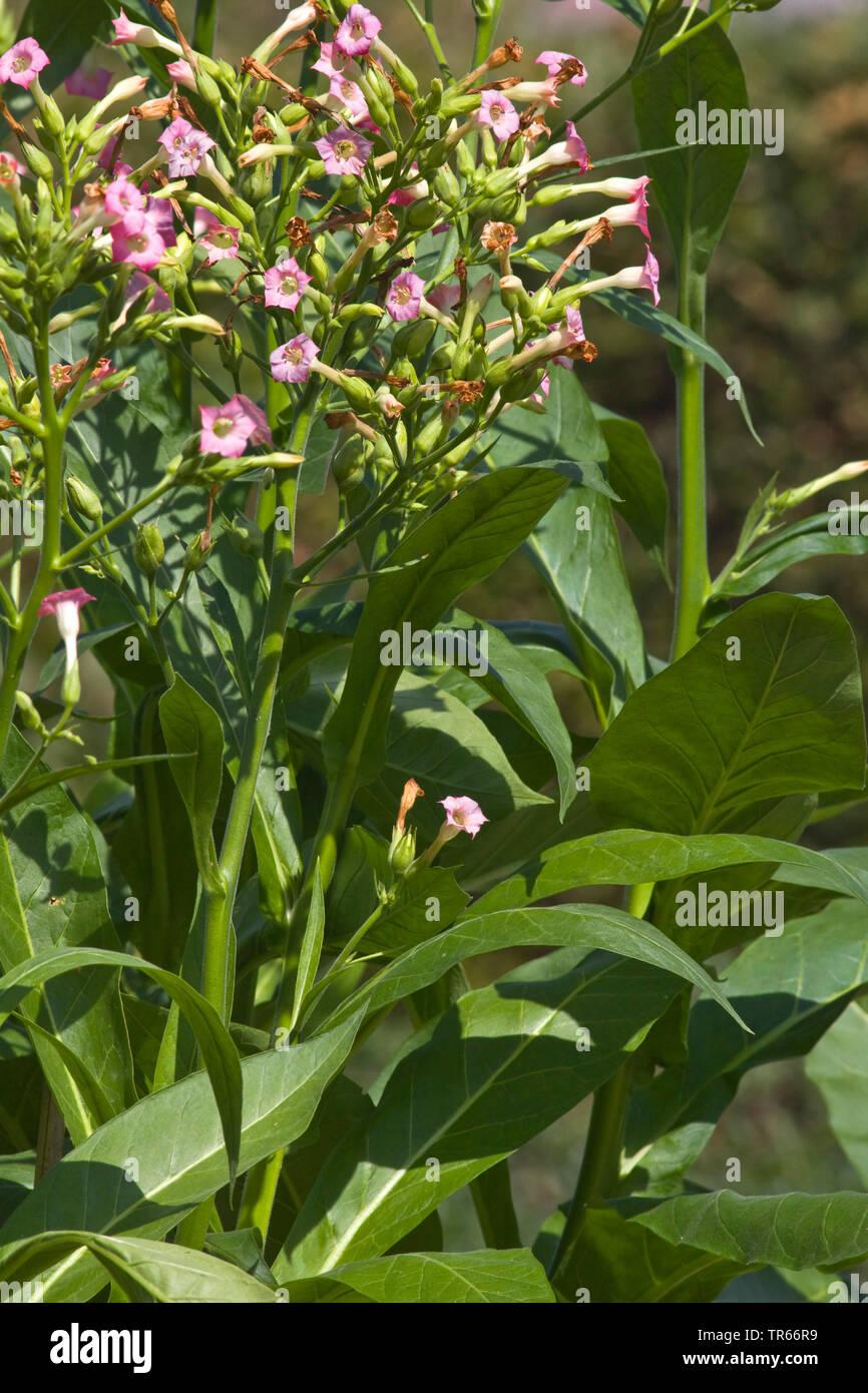 Cultivated Tobacco, Common Tobacco, Tobacco (Nicotiana