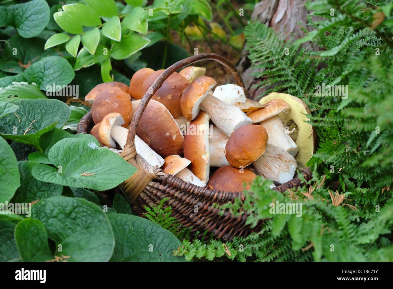 Steinpilz, Stein-Pilz, Fichten-Steinpilz, Fichtensteinpilz, Edelpilz, Edel-Pilz, Herrenpilz, Herren-Pilz (Boletus edulis), Steinpilze in einem Korb, D - Stock Image