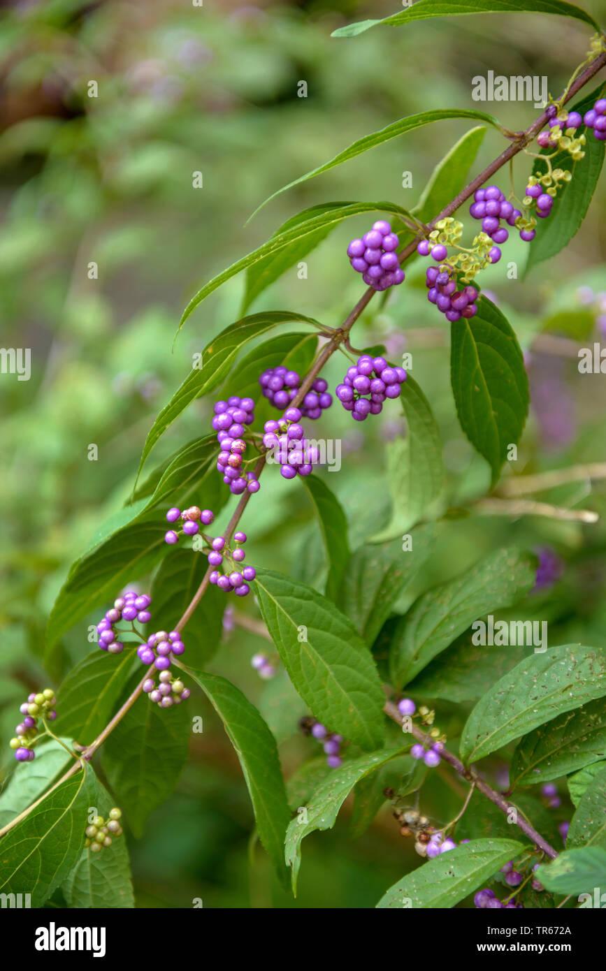 purple beautyberry (Callicarpa dichotoma), branch with fruits Stock Photo