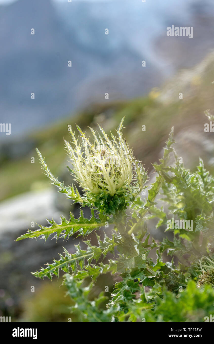yellow thistle (Cirsium spinosissimum), blooming, Austria, Hohe Tauern National Park - Stock Image