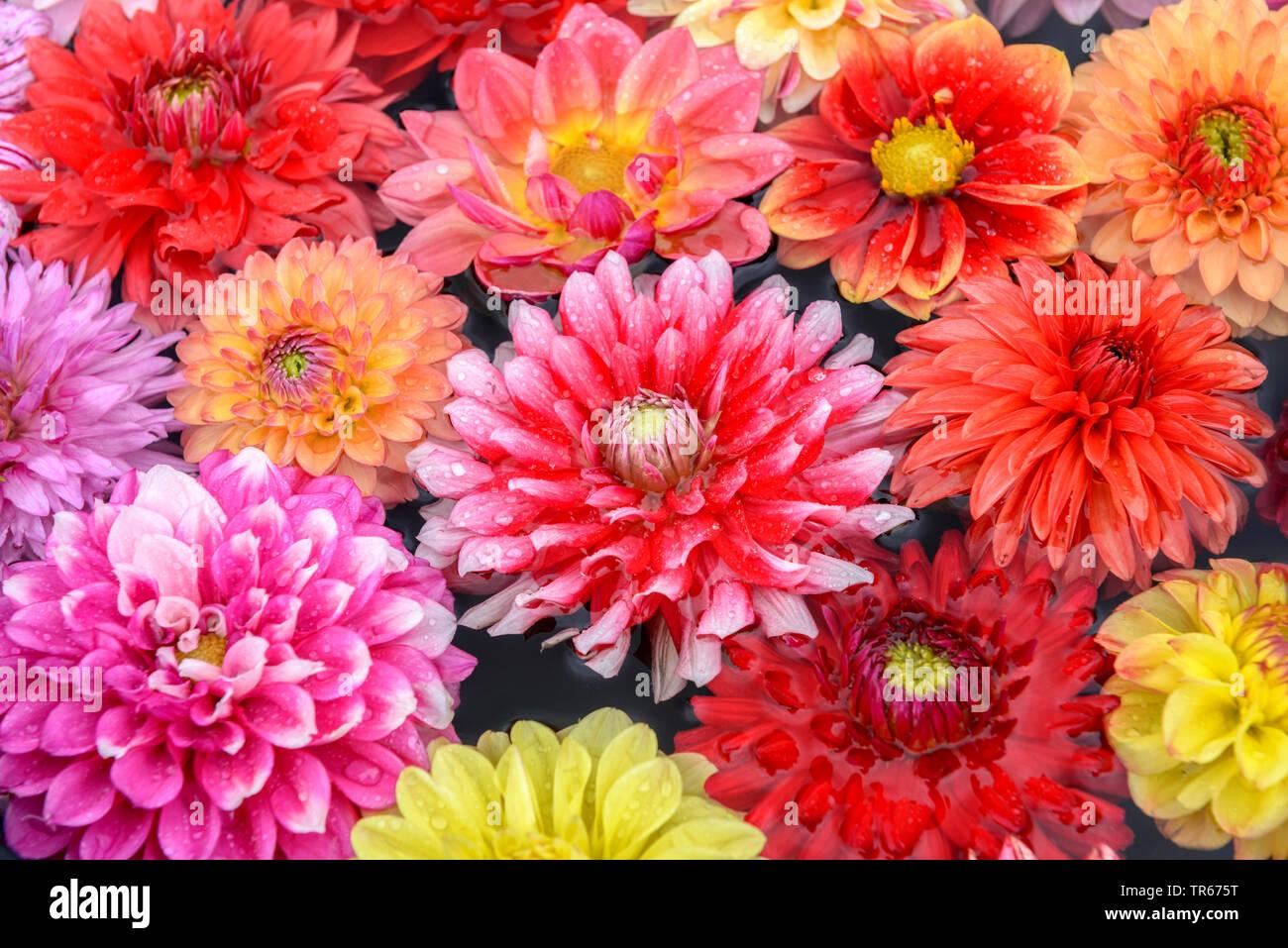 Dahlie (Dahlia spec.), Blumenteppich aus bunten Dahlienblueten auf einem Tisch   georgina (Dahlia spec.), colourful georgina flowers on a desk   BLWS4 - Stock Image