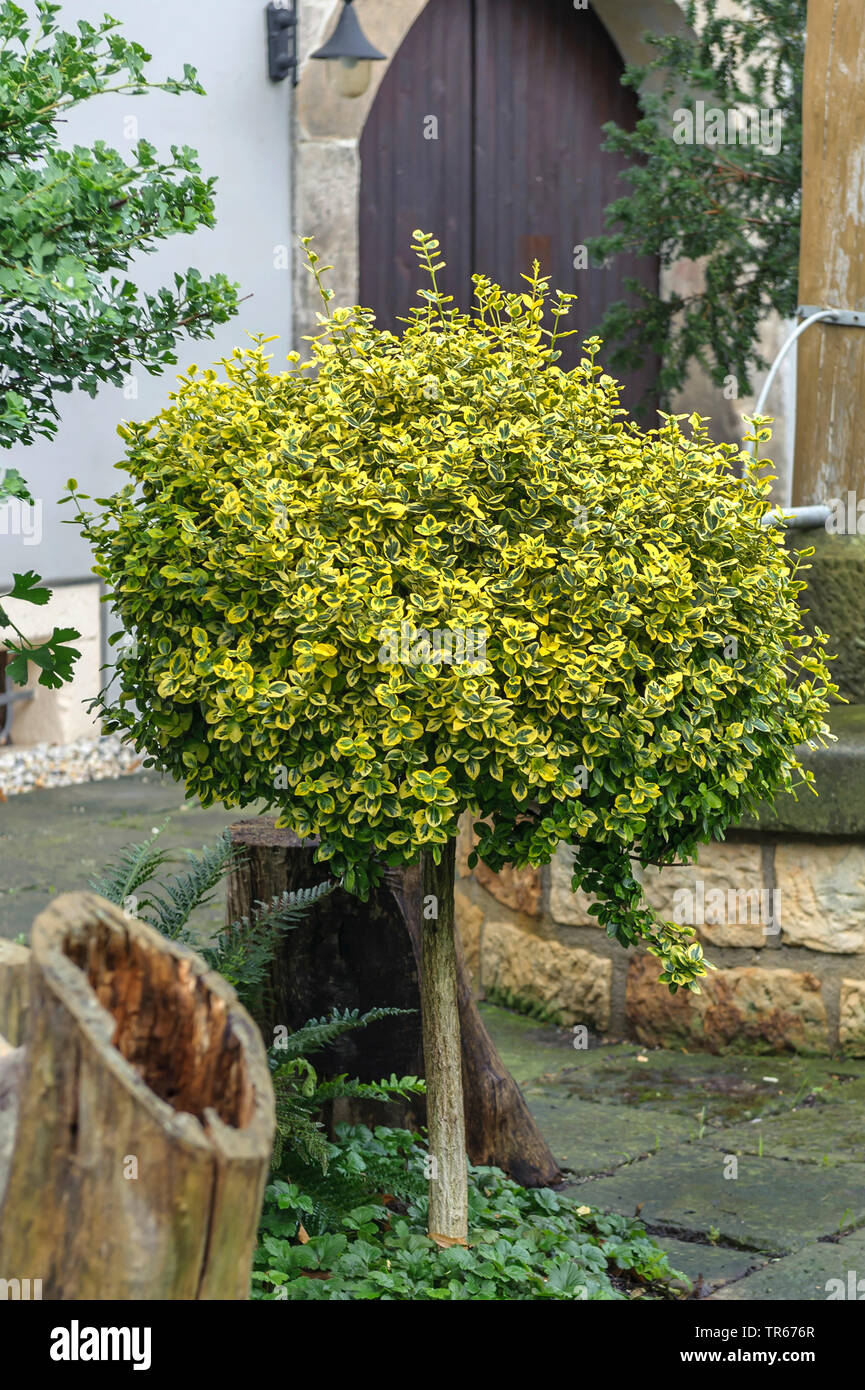 climbing euonymus, wintercreeper euonymus, winter-creeper (Euonymus fortunei 'Emerald 'n' Gold', Euonymus fortunei Emerald 'n' Gold), cultivar Emerald 'n' Gold in a frontgarden, Germany, Saxony - Stock Image