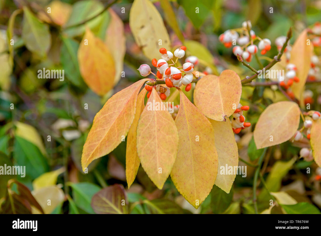 climbing euonymus, wintercreeper euonymus, winter-creeper (Euonymus fortunei 'Vegetus', Euonymus fortunei Vegetus), fruiting, cultivar Vegetus, Germany - Stock Image