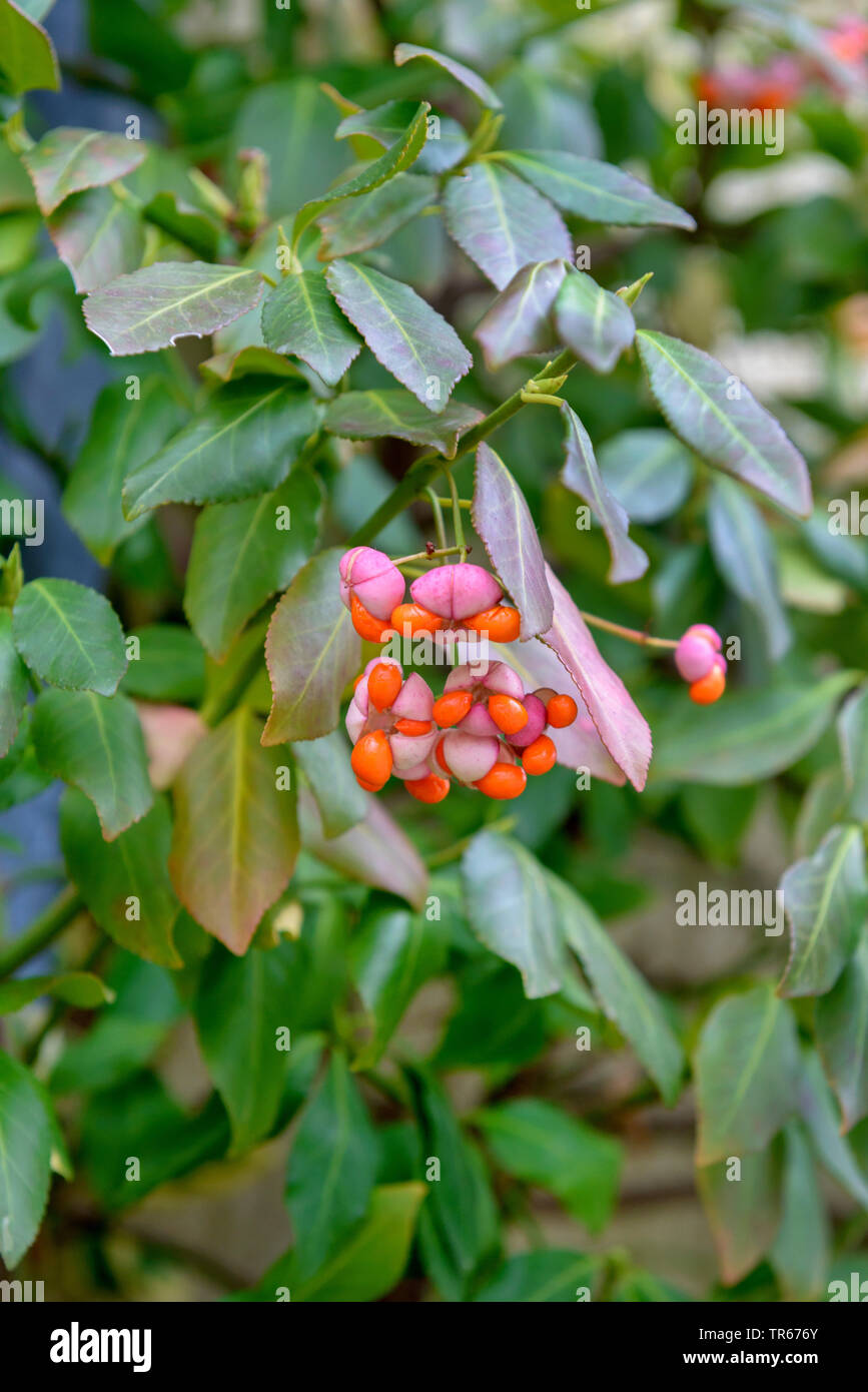 climbing euonymus, wintercreeper euonymus, winter-creeper (Euonymus fortunei), fruiting, Germany, Saxony - Stock Image