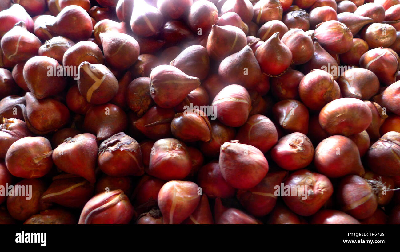 Tulpe (Tulipa spec.), Tulpenzwiebeln beim Erzeuger, Niederlande | tulip (Tulipa spec.), bulb production in a company, Netherlands | BLWS475732.jpg [ ( - Stock Image