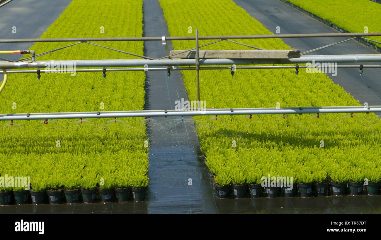 Zierpflanzenproduktion mit Bewaesserungseinrichtung im Freiland , Deutschland | ornamental flower production with irrigation, Germany | BLWS475812.jpg - Stock Image