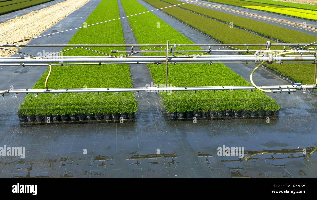 Zierpflanzenproduktion mit Bewaesserungseinrichtung im Freiland , Deutschland | ornamental flower production with irrigation, Germany | BLWS475813.jpg - Stock Image