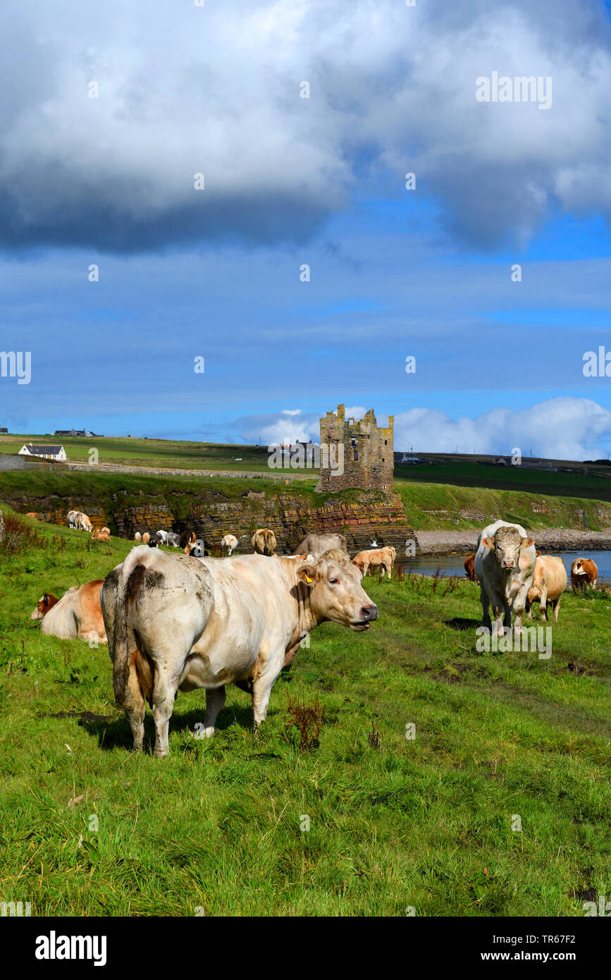 domestic cattle (Bos primigenius f. taurus), herd of cattles on a pasture by the ruin of keiss castle, United Kingdom, Scotland, Caithness Stock Photo